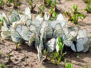 Postal: Mariposas blancas en la tierra