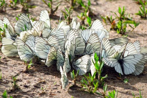 Mariposas blancas en la tierra