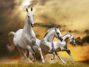 Postal: Blancos caballos corriendo