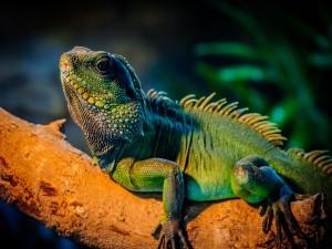 Iguana verde sobre un tronco