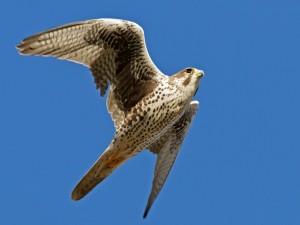 El vuelo de un halcón