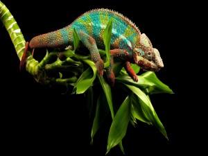 Postal: Camaleón de colores sobre hojas verdes