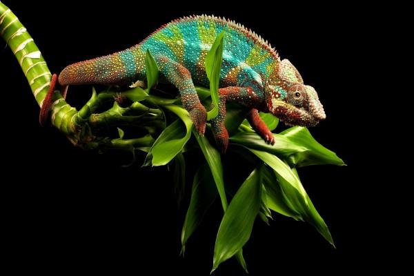 Camaleón de colores sobre hojas verdes