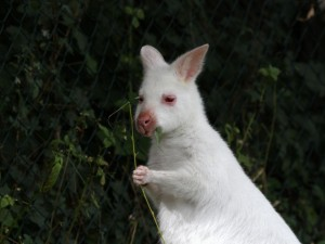 Canguro masticando una hoja
