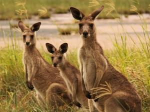 Postal: Familia de canguros sobre la hierba