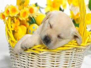 Postal: Cachorro dormido en una cesta de mimbre