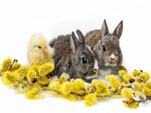 Conejos con un pollito