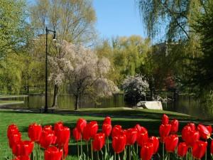 Tulipanes rojos en el parque
