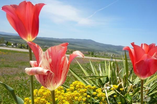 Preciosos tulipanes al sol