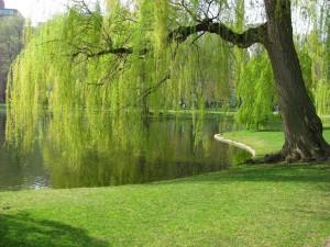 Postal: Sauce llorón junto al estanque