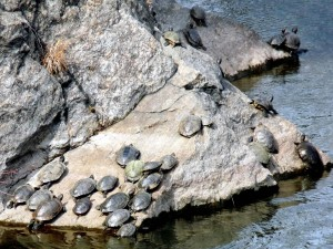 Postal: Tortugas sobre la roca