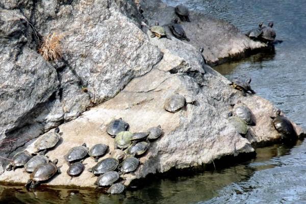 Tortugas sobre la roca
