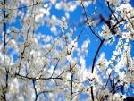 Ramas de un árbol con pequeñas flores blancas
