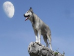 Lobo en la roca