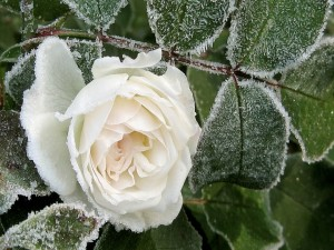 Flor y hojas heladas