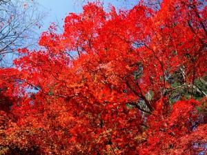 Ramas repletas de hojas rojas