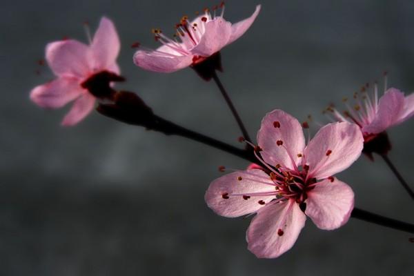 Bonitas flores rosas en la rama