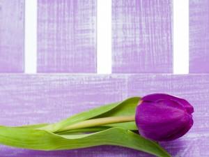 Postal: Tulipán color púrpura