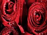 Rosas rojas con gotitas de rocío
