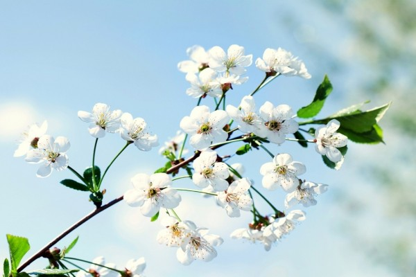 Rama con flores de pétalos blancos