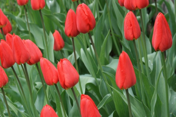 Tulipanes rojos cerrados
