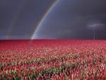 Tormenta y arcoíris en un campo de tulipanes