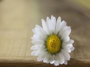 Una solitaria flor con pétalos blancos y centro amarillo