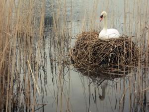 Cisne en el lago sobre una ramas secas