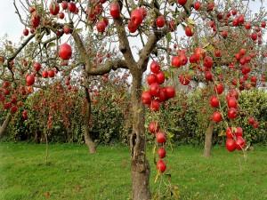 Plantación de manzanos