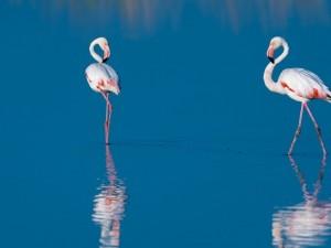 Dos flamencos reflejados en el agua