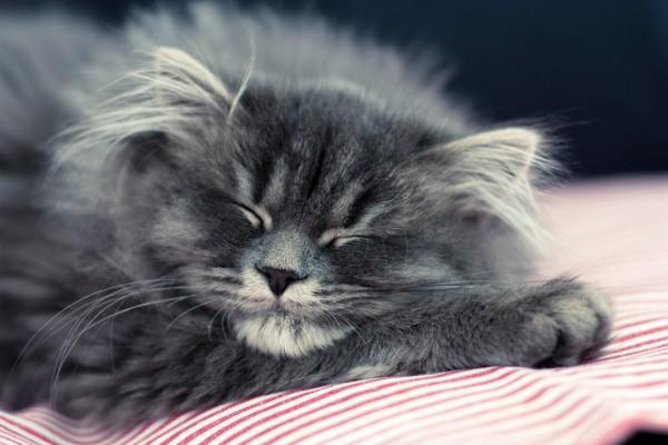 Gato durmiendo plácidamente