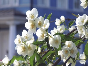 Flores de un manzano