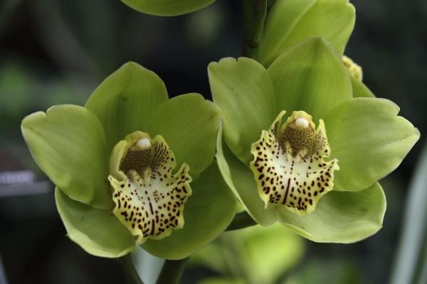 Dos bellas orquídeas