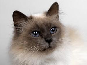 Gato con grandes ojos tristes