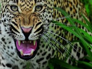 Postal: El rugido del leopardo