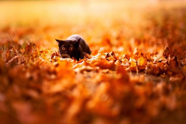 Gato negro entre las hojas otoñales