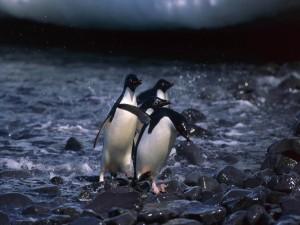 Pingüinos entre las piedras