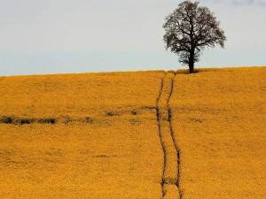 Postal: Un árbol en el campo amarillo