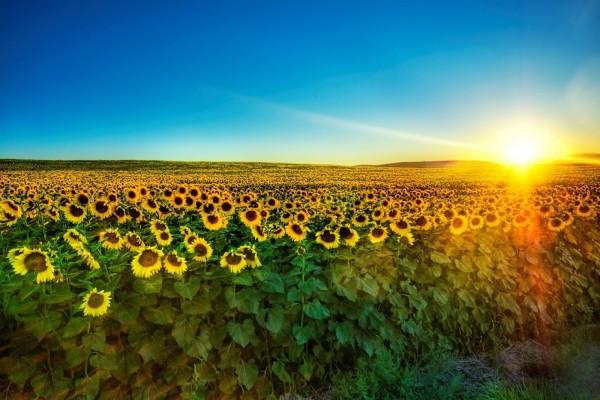 El sol iluminando el campo de girasoles