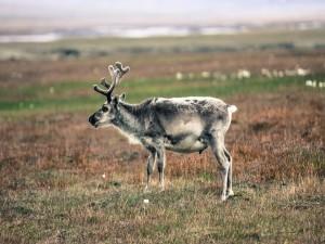 Un joven reno de Svalbard (Noruega)