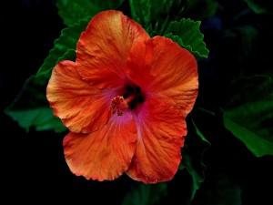 Bella flor de hibisco con pétalos naranjas