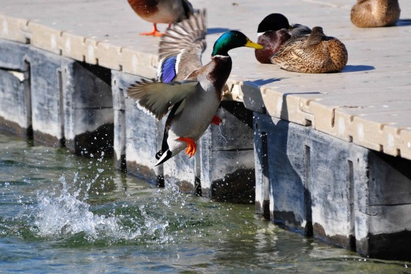 Pato volador