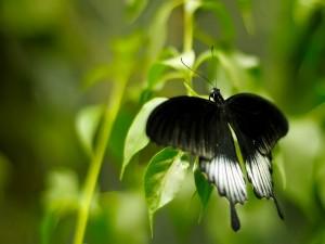 Postal: Mariposa negra