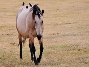 Postal: Pajaritos paseando sobre un caballo