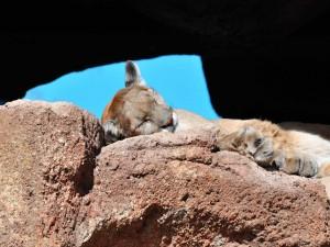 Puma durmiendo en una caverna