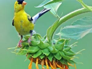 Pájaro agarrado a las hojas del girasol