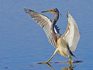 Ave caminando con las alas extendidas