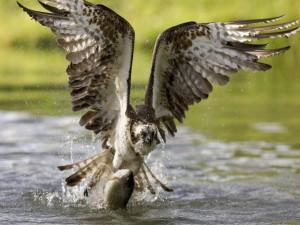 Ave sacando al pez del agua