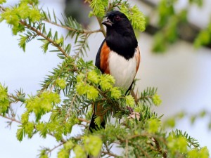 Pájaro de cabeza negra en las ramas un árbol