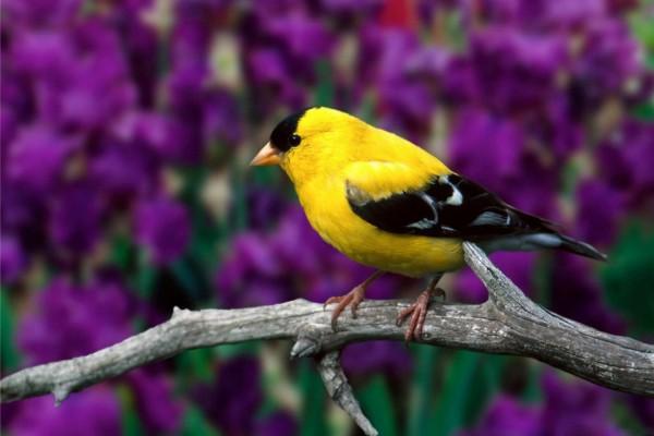 Bonito pájaro amarillo y negro